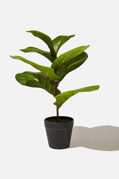 Midi Plant, FIDDLE LEAF FIG