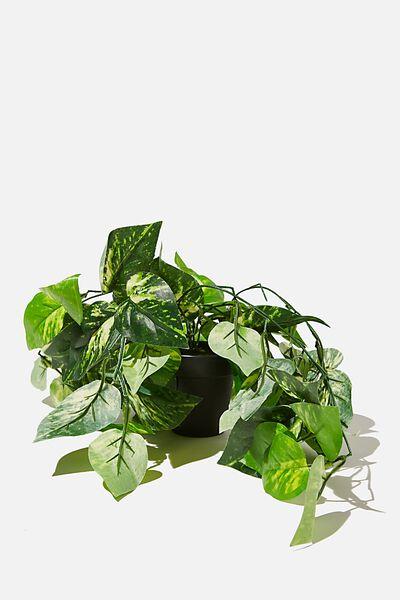 Midi Plant, DEVILS IVY