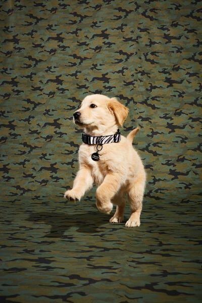 Dog Collar, ABSTRACT ZEBRA